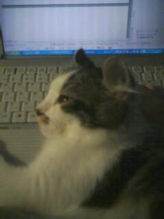猫がパソコンの邪魔をする。